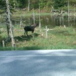 Moose at Belvedere Pond, Eden (Photo by Julie Coon)