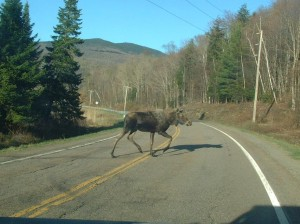 Moose crossing at Belvidere Pond, Eden
